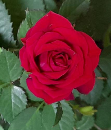 Cigana da Rosa