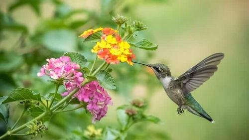 beijar-flor