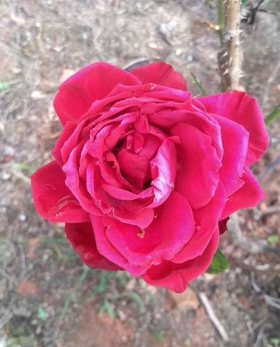 A rosa e o Missionário